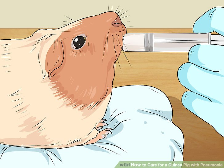 Hand-feed your guinea pig.