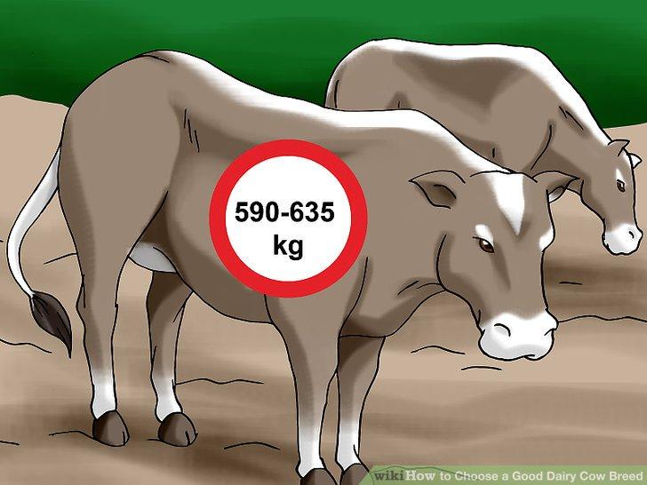 Lesen Sie mehr über braune Schweizer Kühe.