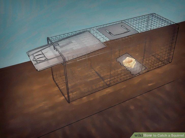 Stelle die Falle ein, wo ein Eichhörnchen sie finden wird.