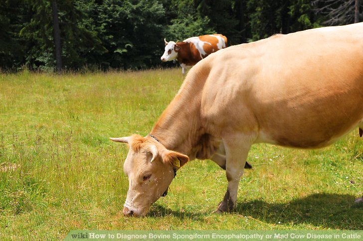 Bovine Spon Orm Encephalopathy Mad Cow Disease Essay College