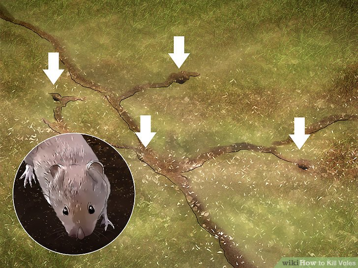 3 Ways to Kill Voles  wikiHow