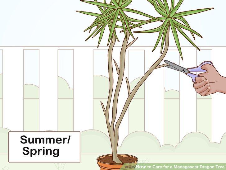 Im Frühling oder Sommer beschneiden, um die Pflanze dichter zu machen.