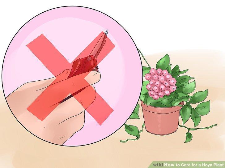 Entfernen Sie nicht die verbrauchten Blütenstiele nach Ihrer Hoya-Blüte.