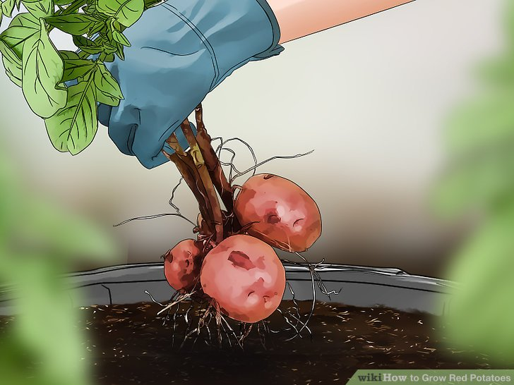 Harvest your red potatoes 7-8 weeks after planting.
