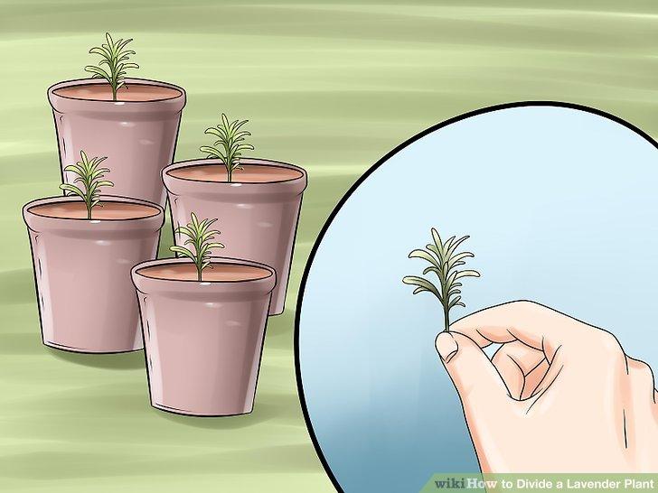 Verwenden Sie Stecklinge anstelle von Aufteilungen, um neue Pflanzen zu erstellen.