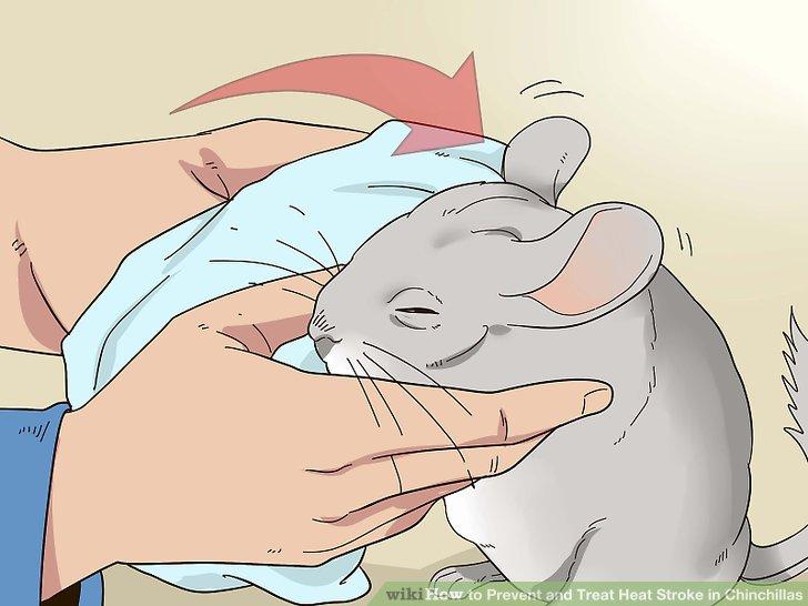 Verwenden Sie ein mit kaltem Wasser getränktes Tuch, um die Ohren der Chinchilla zu befeuchten.