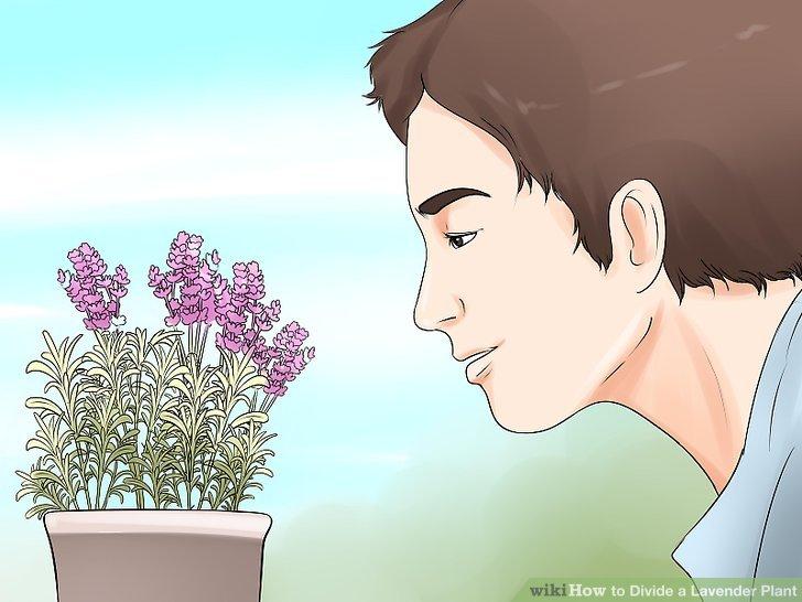 Bevor Sie die Unterteilung in Betracht ziehen, sollten Sie von Jahr zu Jahr einen stetigen Rückgang der Blüte erwarten.