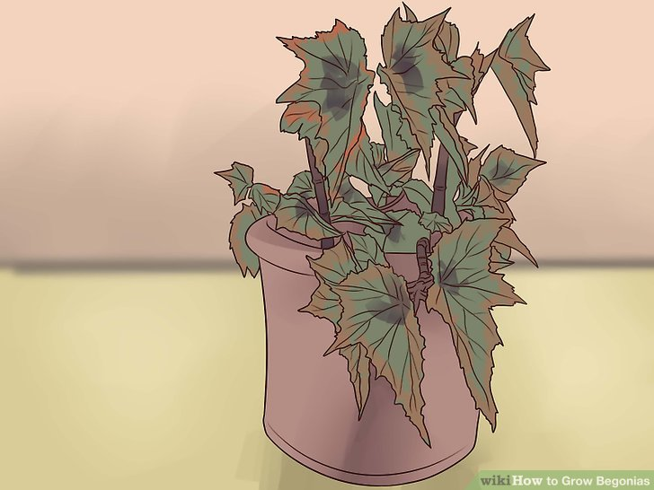 Select a type of begonia to plant.