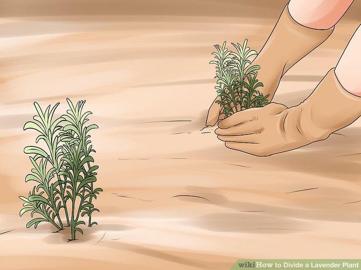 Pflanzen Sie jeden Abschnitt in ein eigenes Loch.