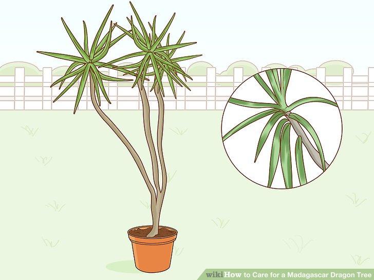 Züchten Sie die Marginata-Tarzan-Sorte für stachelige Blätter.