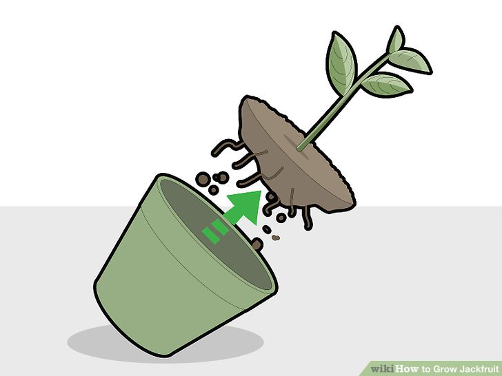 Remove the plant gently from the pot.