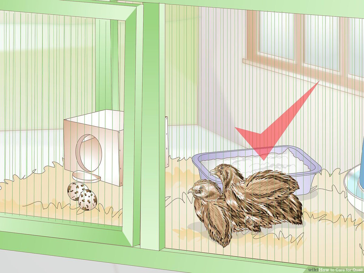hight resolution of how to care for quail with pictures wikihowsnow quail diagram 17
