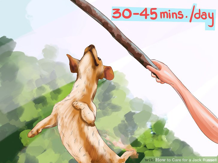 Exercise your Jack Russell for 30 to 45 minutes each day.