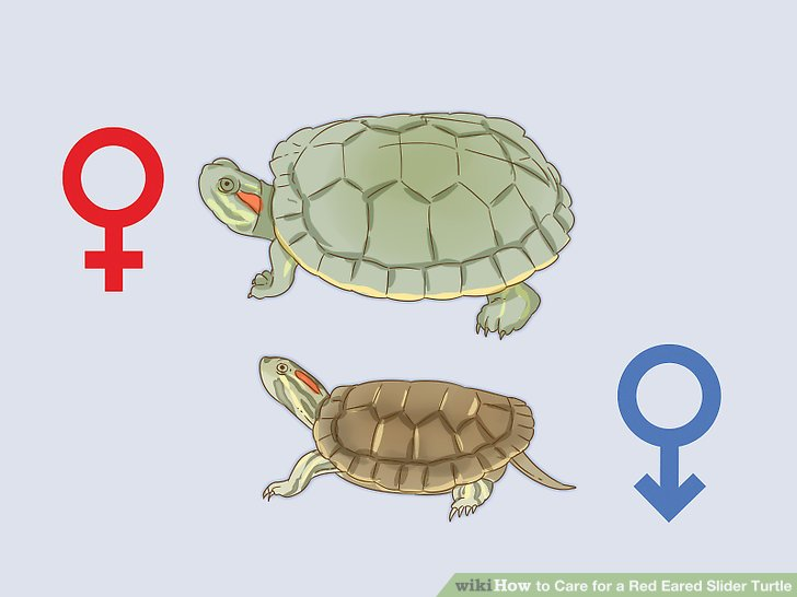 Determine the sex of your turtle.