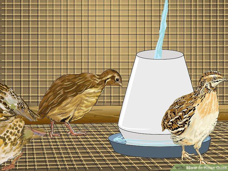Wachteln mit sauberem Trinkwasser versorgen.