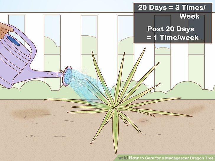 Wasser regelmäßig für 3 Wochen, dann einmal pro Woche.