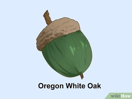 How To Identify Oaks By The Acorns 13 Steps With Pictures