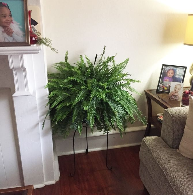 How to Care for Boston Ferns 10 Steps with Pictures