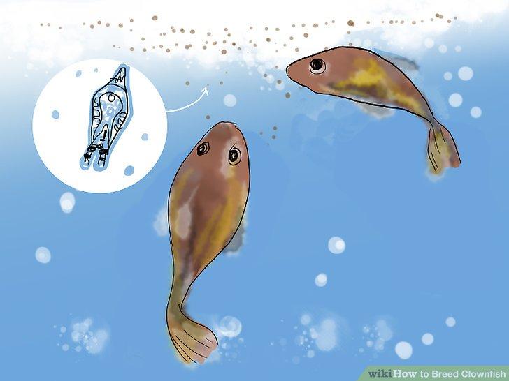 Füttern Sie Ihre Clownfish-Jungtiere.