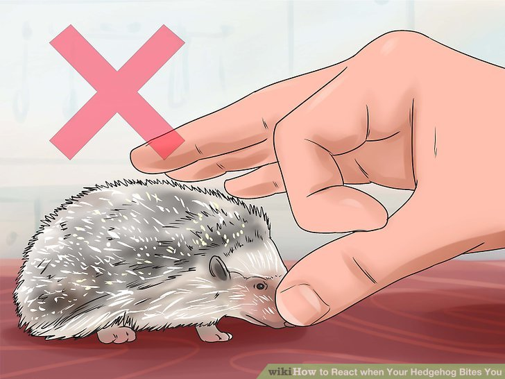 Schlagen oder schnippen Sie niemals Ihren Igel!