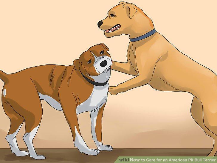 Sozialisieren Sie Ihren Pitbull mit anderen Hunden und Menschen.