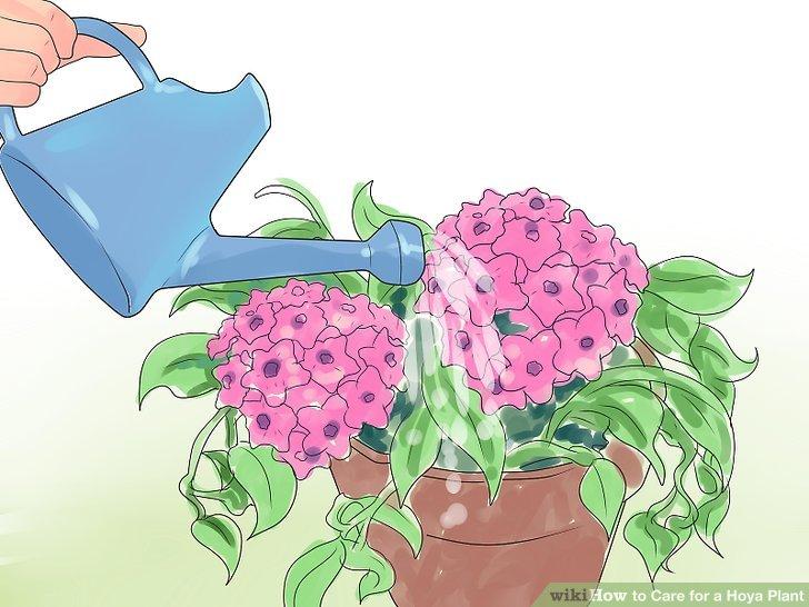 Wasser Hoya Pflanzen, wenn die Blumenerde fast vollständig trocken ist.