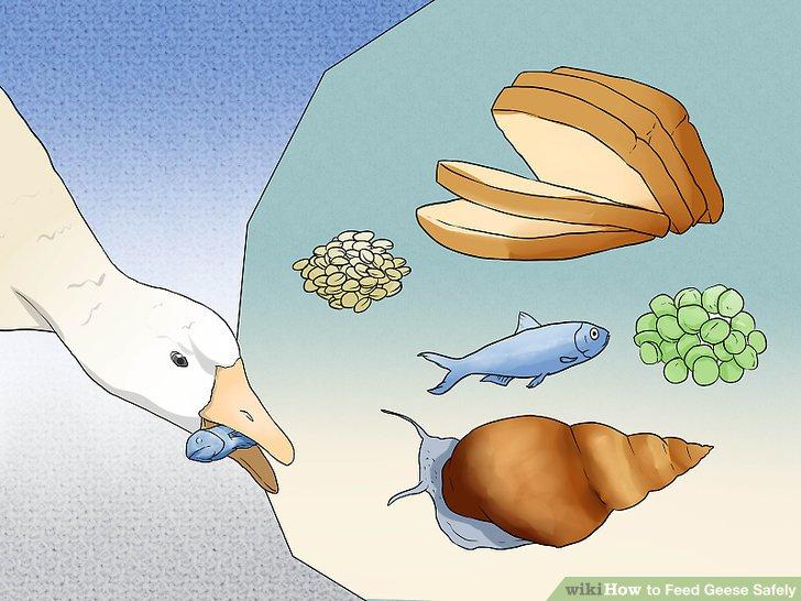 Füttern Sie Gänse mit anderen akzeptablen Lebensmitteln.
