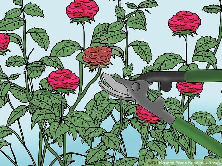 Deadhead Tot und Sterben blüht, um die Blütezeit zu verlängern.