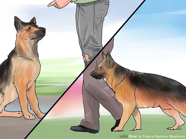 3 Easy Ways To Train A German Shepherd WikiHow