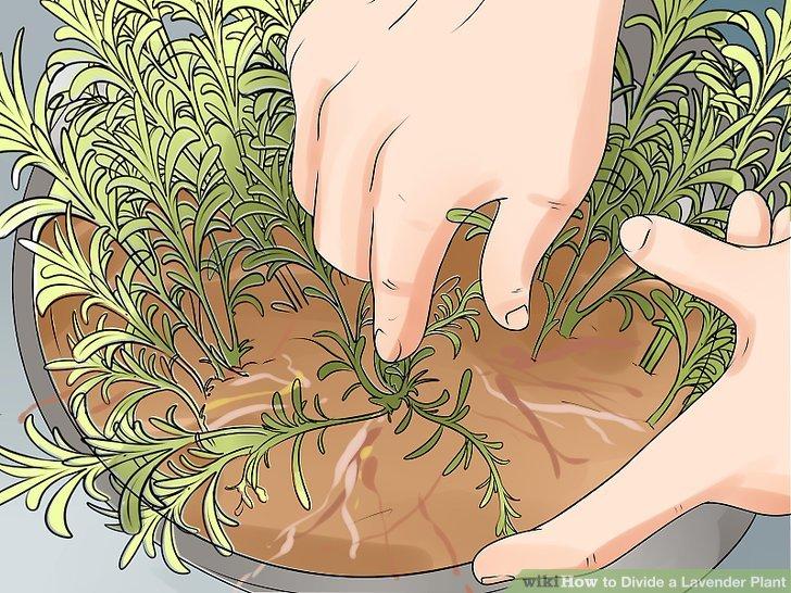 Untersuchen Sie die Mitte der Lavendelpflanze.