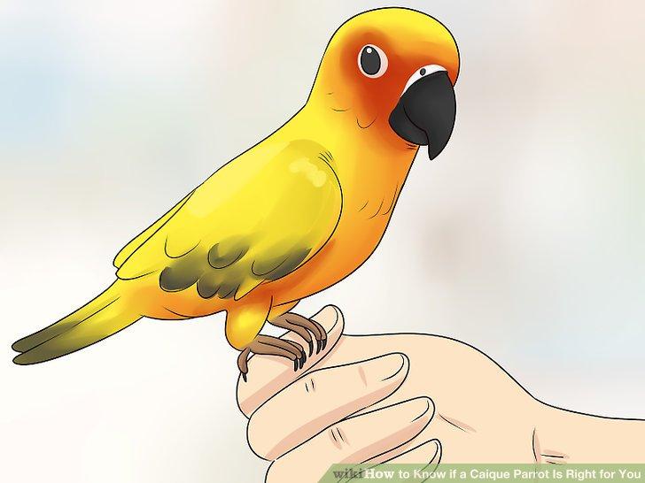 Wählen Sie einen sanfteren Papagei, wenn Sie zum ersten Mal einen Vogel besitzen.