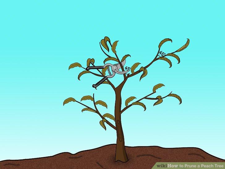 Formen und trainieren Sie Ihren Pfirsichbaum.