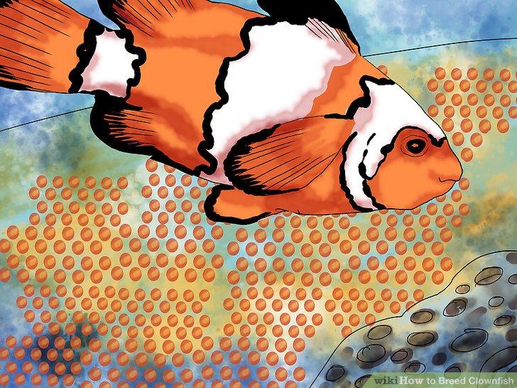 Halten Sie Ausschau nach den Clownfischeiern.