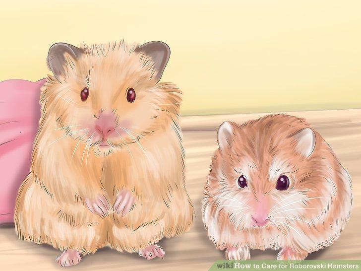 Achten Sie auf Anzeichen eines gesunden Hamsters.