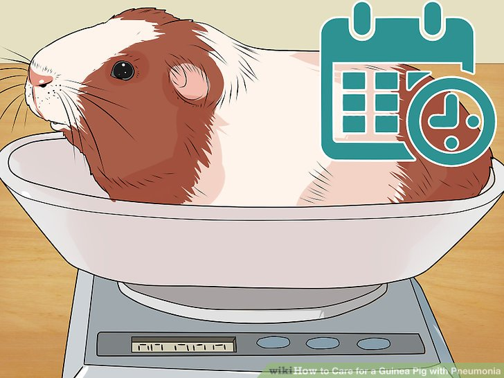Weigh your guinea pig daily.