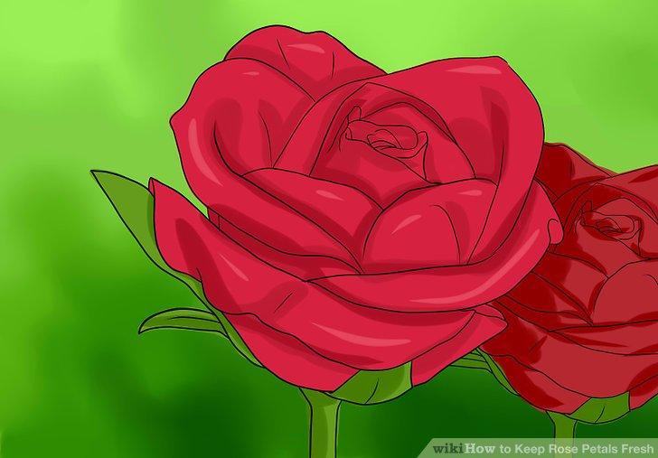 Pflücken Sie die Blütenblätter von frischen Rosen.