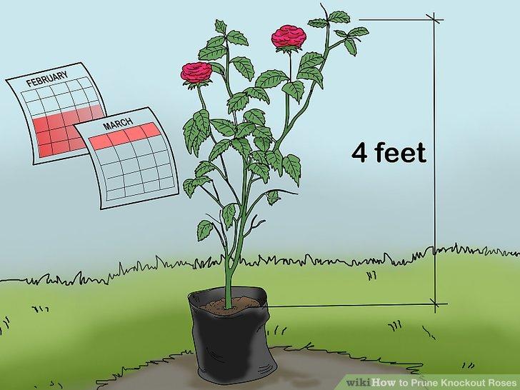 Warten Sie bis zur zweiten oder dritten Wachstumsperiode, um Ihre Rosen zurückzuschneiden.