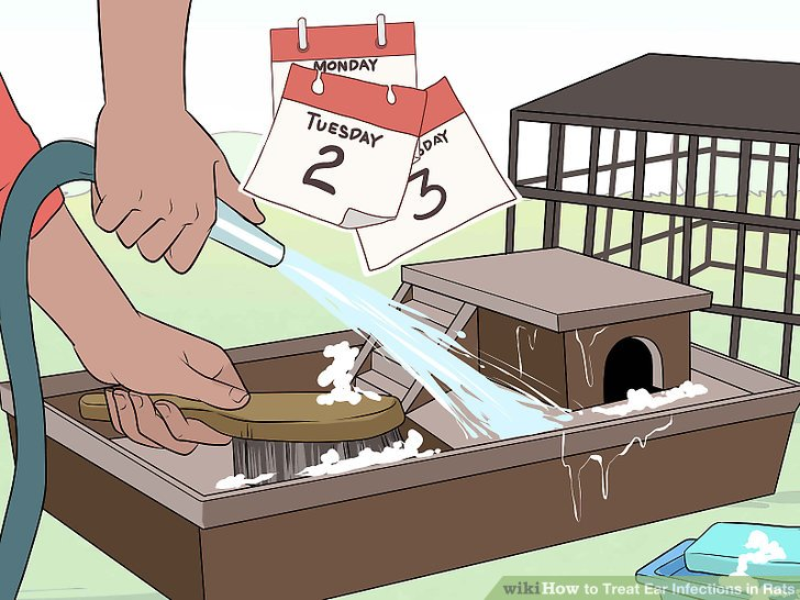 Treat Ear Infections in Rats Step 17.jpg