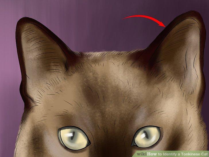 Schauen Sie sich die Ohrform der Katze an.