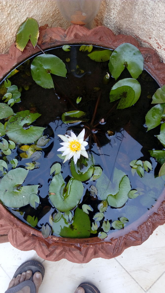 lotus in water plant diagram fishing boat wiring 3 ways to grow flower wikihow uploaded 2 years ago