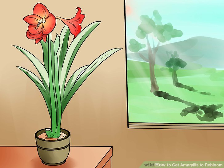 Move the amaryllis to an area with bright indirect light.