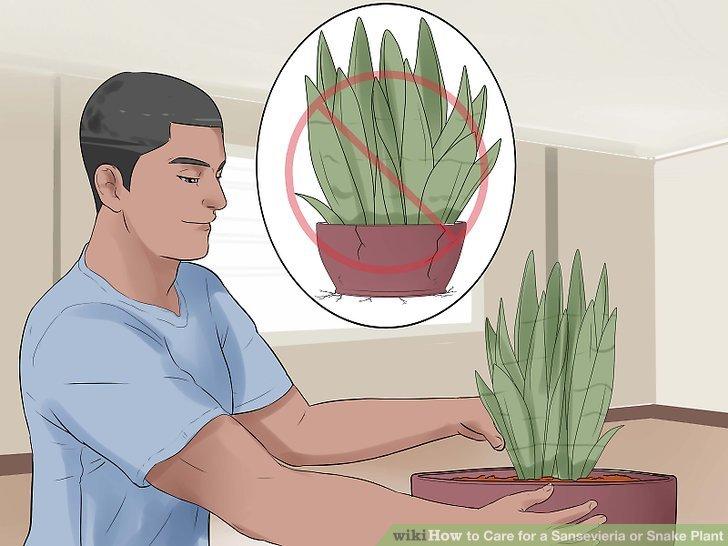 Transplantieren, wenn die Pflanze für den Topf zu groß wird.