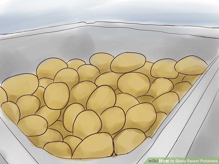 Speichern Sie Ihre Süßkartoffeln.