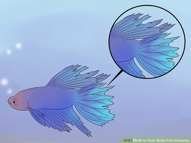 how to how to cure betta fish diseases