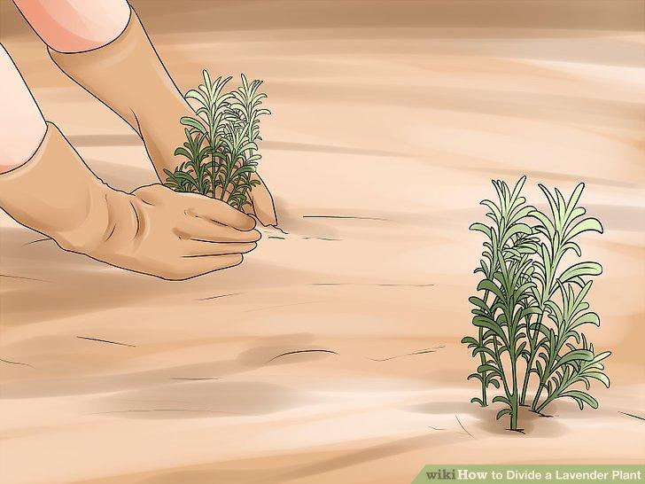 Den Schnitt als neue Lavendelpflanze verpflanzen.