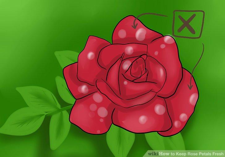 Vermeiden Sie es, Rosen zu ernten, nachdem es geregnet hat, da die Blütenblätter feucht sind.