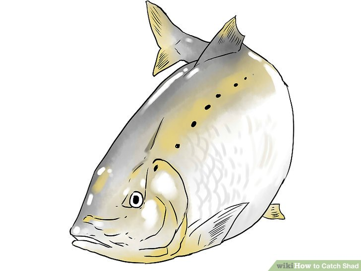 Fish for shad in coastal rivers.