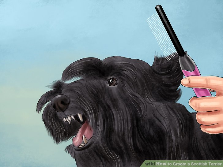 4 Ways To Groom A Scottish Terrier WikiHow