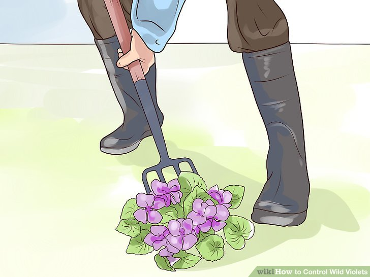 Dig out established wild violets by the root.