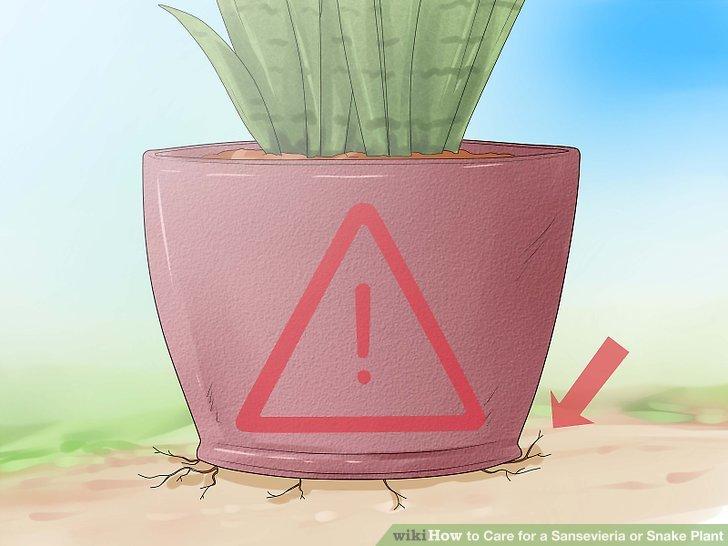 Richten Sie Ihre Sansevieria-Pflanze richtig ein.